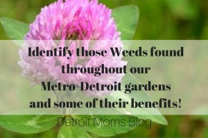 identify weeds in metro detroit and their benefits